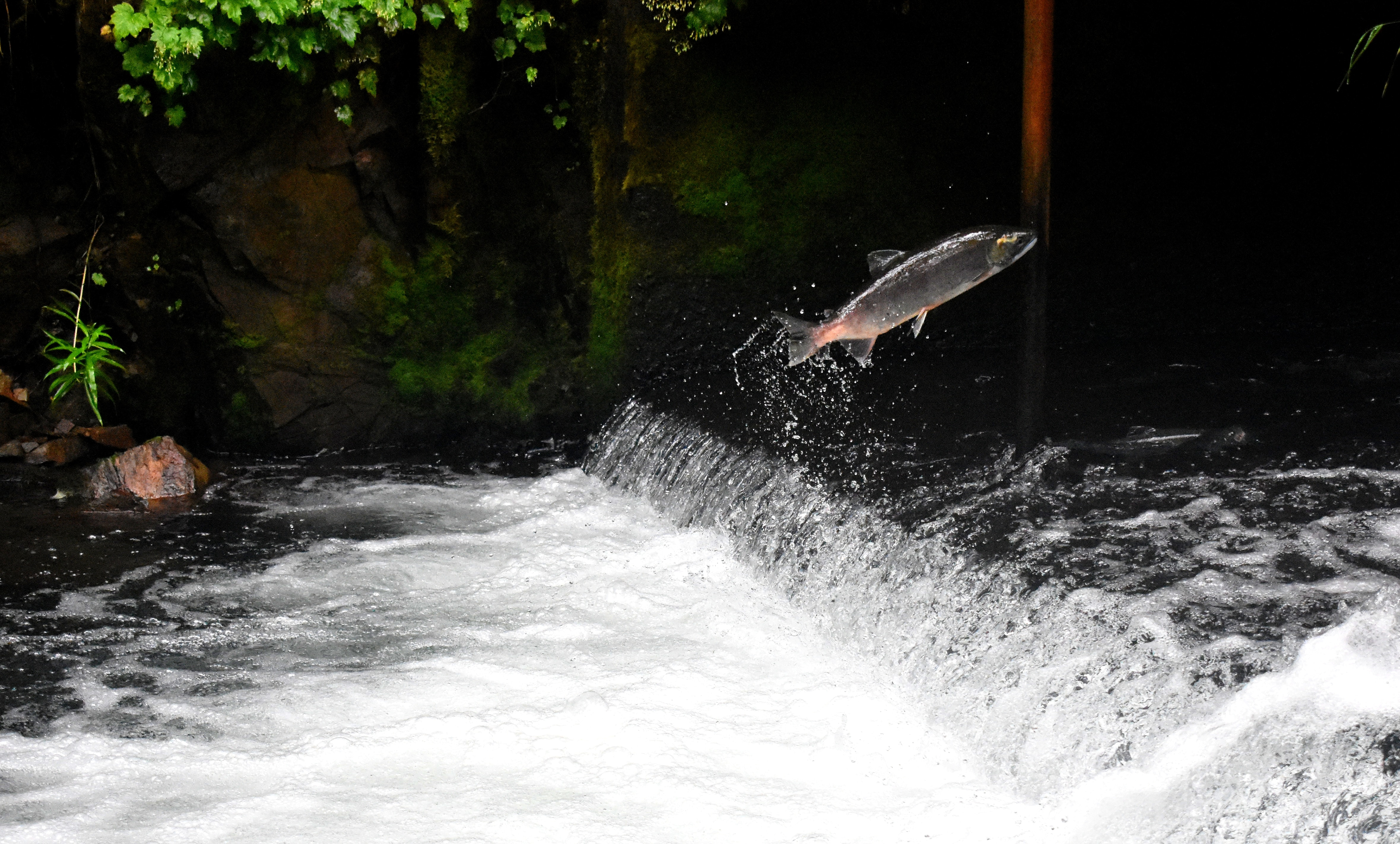 salmon swimming