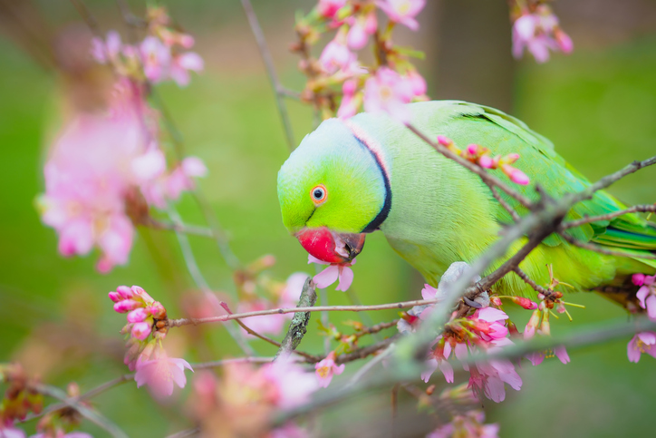 parakeet perching on some pink blossom