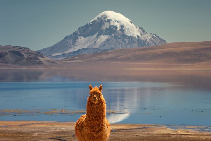 A shaggy ginger llama in the Altiplano