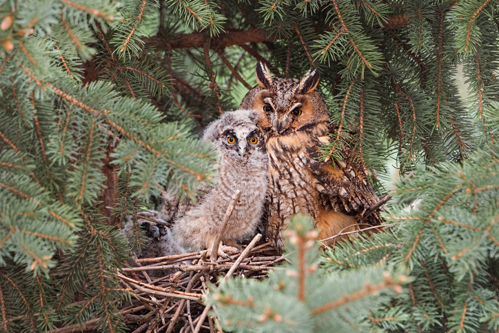 a long eared owl with its baby