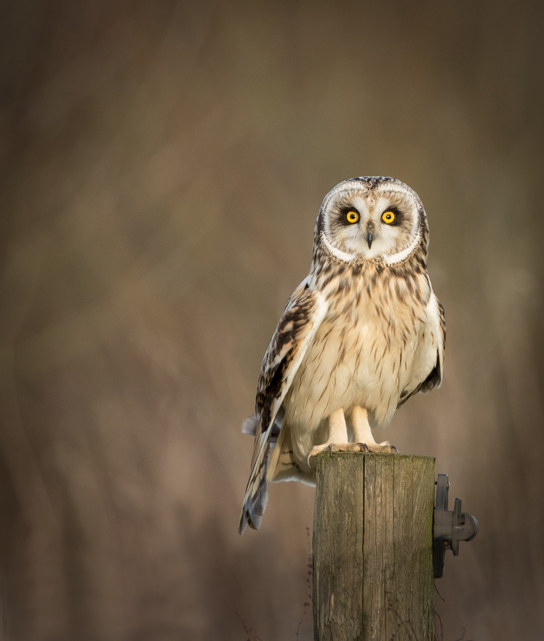 short eared owl flies with wings out-stretched