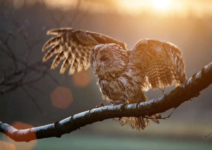 a tawny owl spreading its wings
