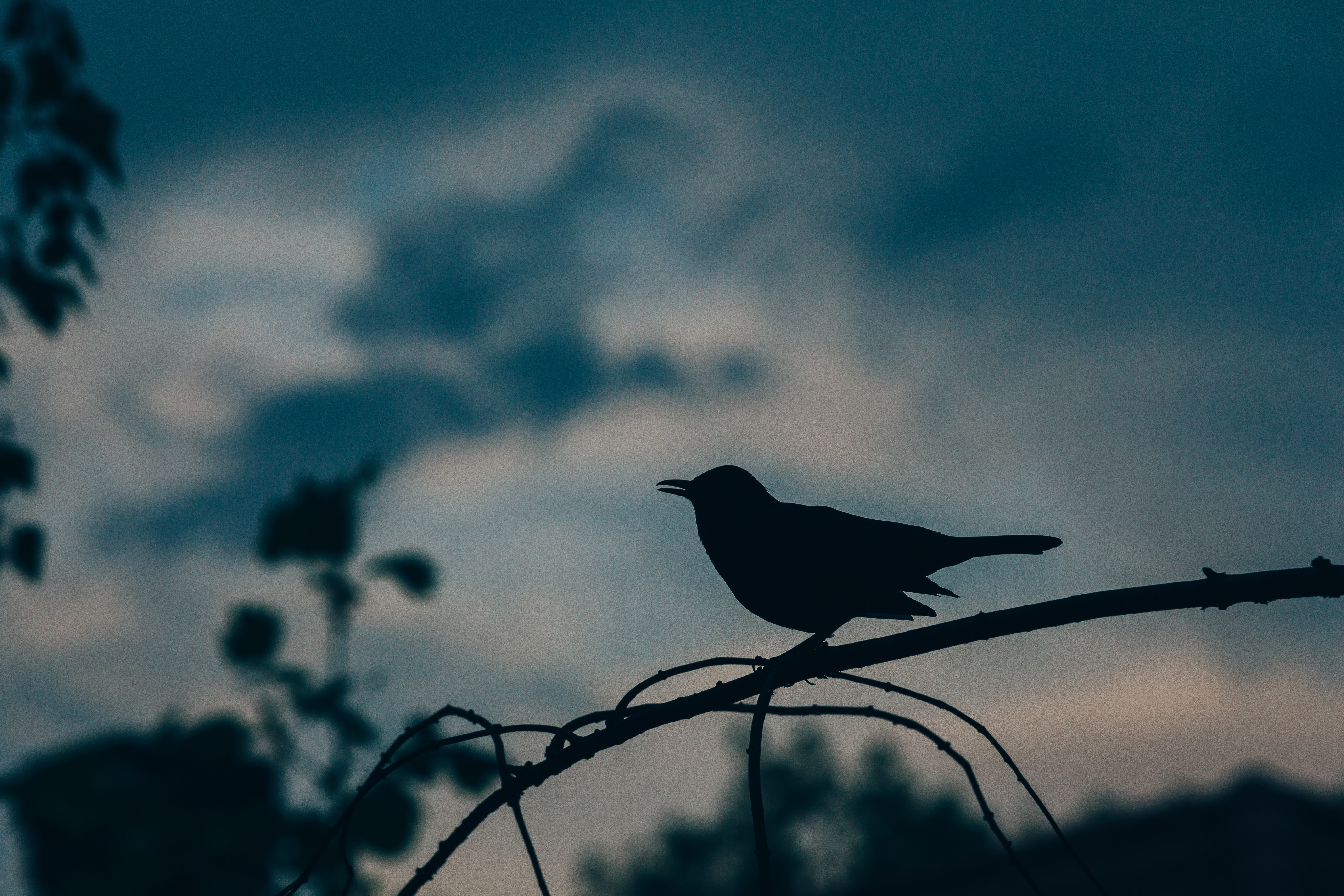 a black bird prepares to start the dawn chorus