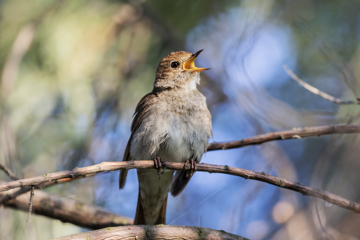 a nightingale sings during the day