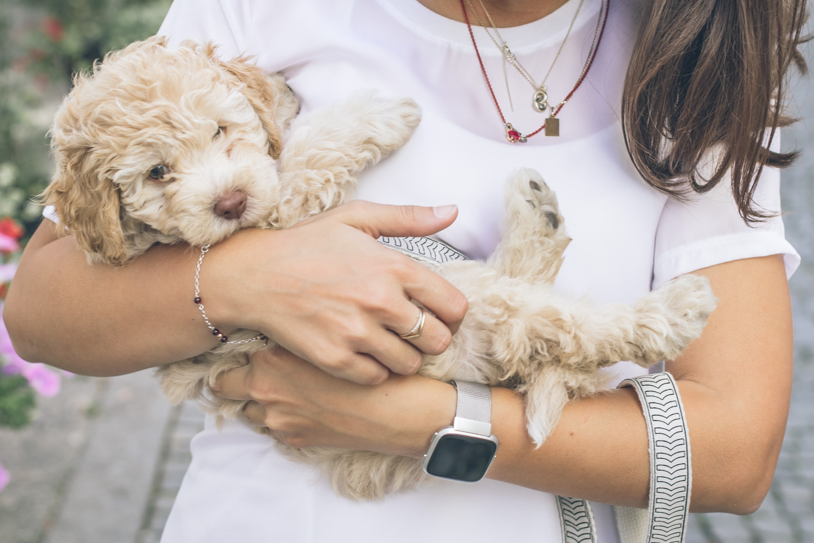 a cockapoo puppy being held
