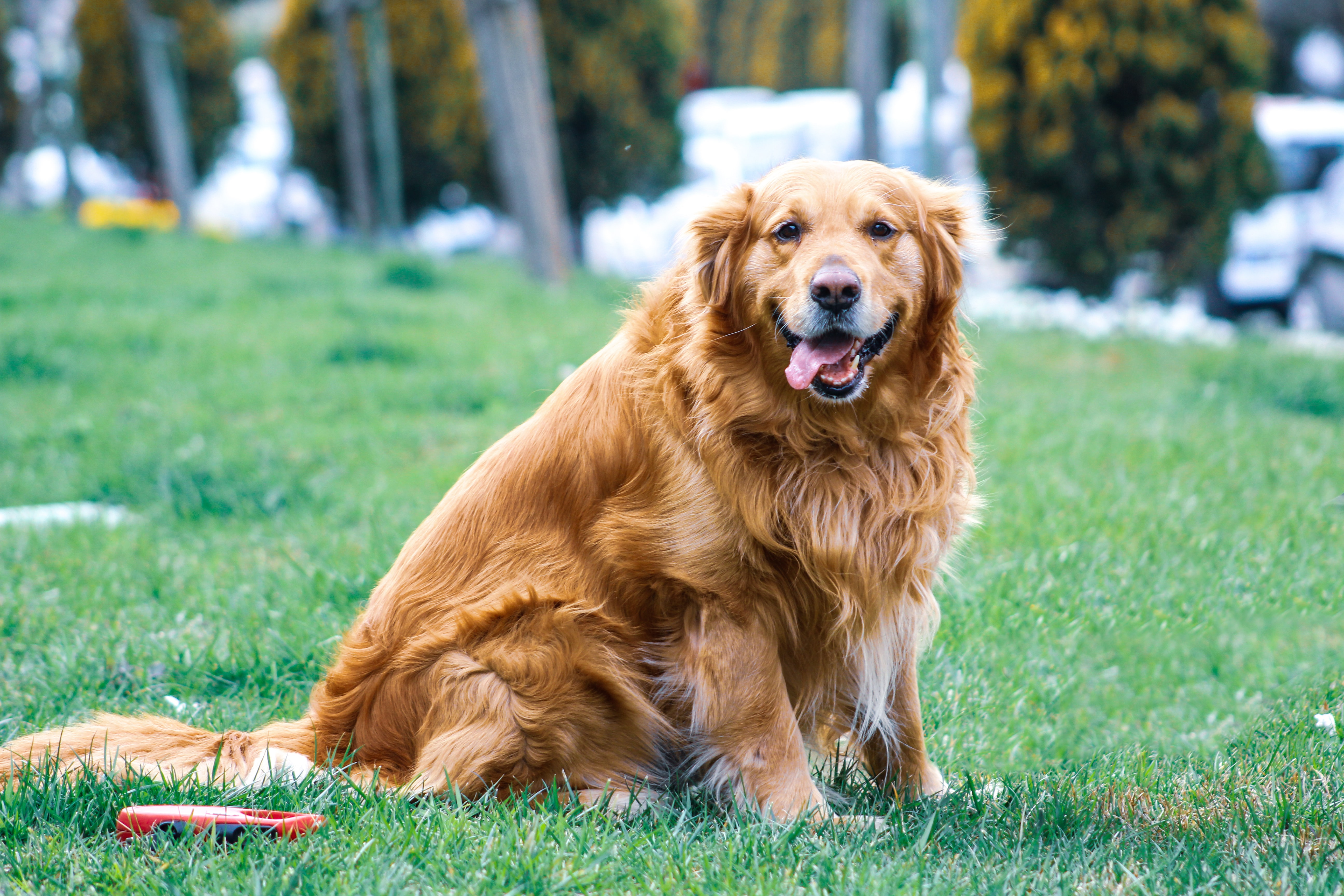golden retrievers are one of the best choices for a family