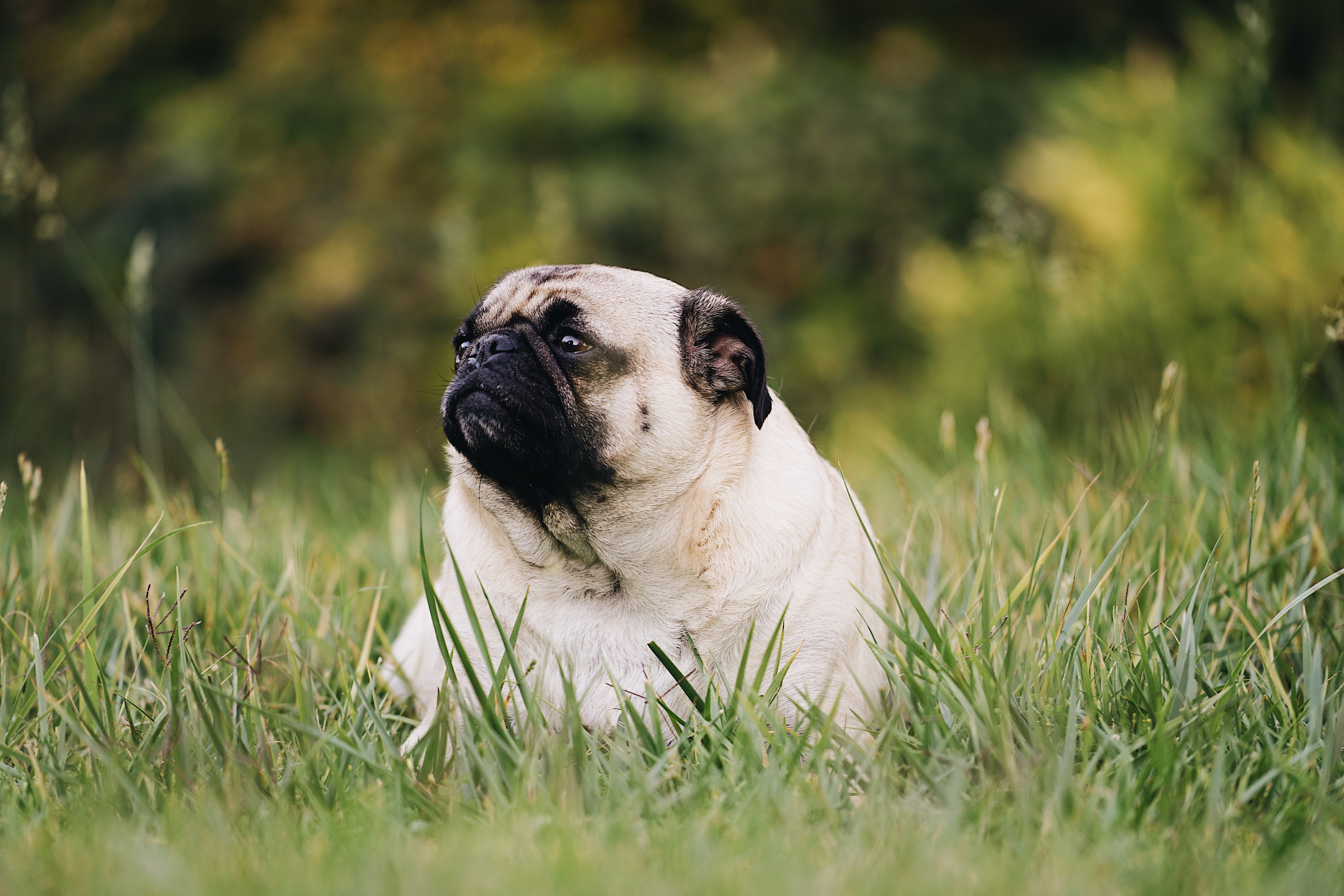 a pug sitting outside