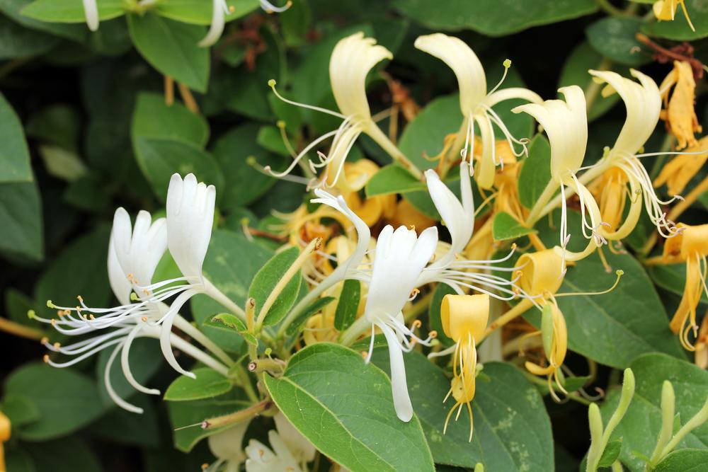 pruning honeysuckle pruning plants reader 39 s digest. Black Bedroom Furniture Sets. Home Design Ideas