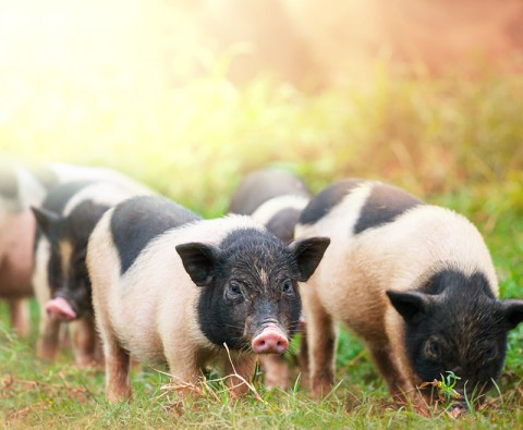 Cunning pigs: the intelligence of swine