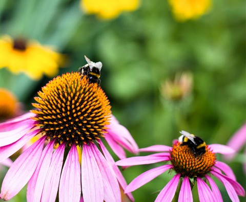 What to plant to attract bumblebees into your garden