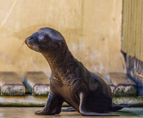 Gallery: Adorable sea lion pup born at Woburn