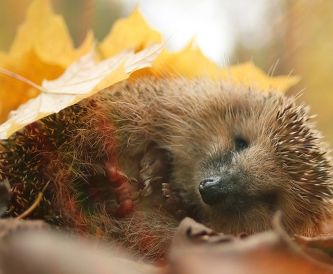 Help Britain's hibernating animals this winter