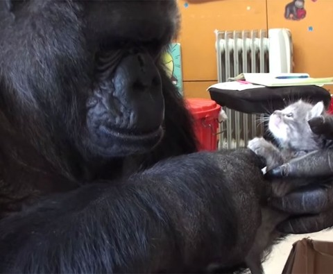 Koko the gorilla falls in love with some kittens