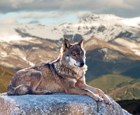 7 Reasons wolves would make terrible pets