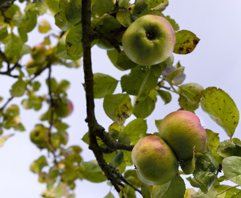 10 wonderful ways with Bramley apples