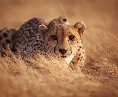 9 things you didn't know about Cheetahs