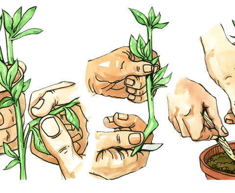 How to grow plants using cuttings