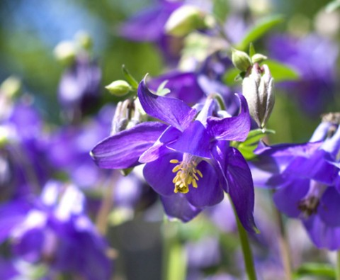 How to check Aquilegias for disease