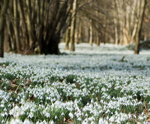Find a snowdrop garden to visit in February