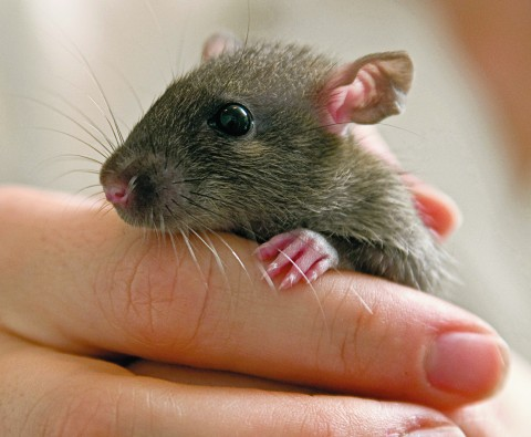 Love Rat: How Did This Rat Change a Couple's Lives Forever?