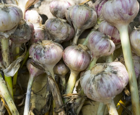 How to grow garlic almost anywhere