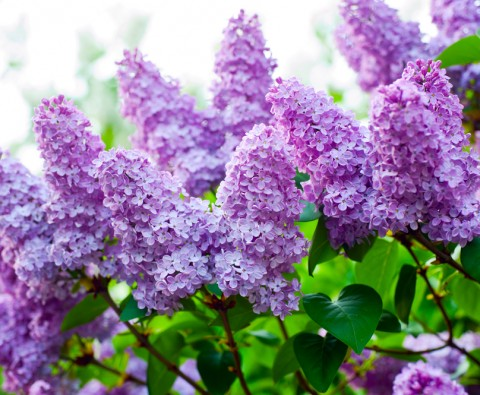 Pruning Lilacs
