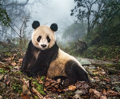 Can the panda be saved?