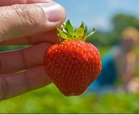 How to refresh your strawberry patch