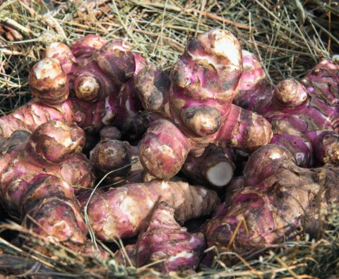 Jerusalem Artichokes: The wonder veg