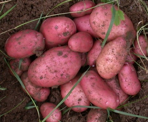 The ultimate guide for growing potatoes
