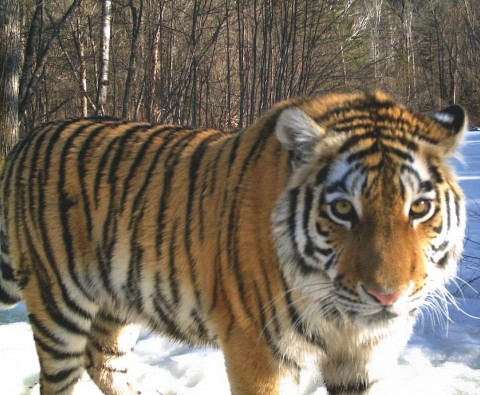 How to save a Russian tiger