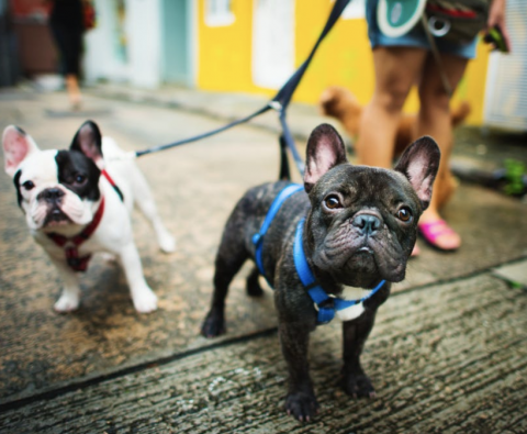 Why Dog Harnesses Are Safer for Walks Than Collars