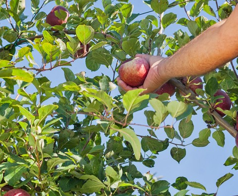 How to grow perfect apples