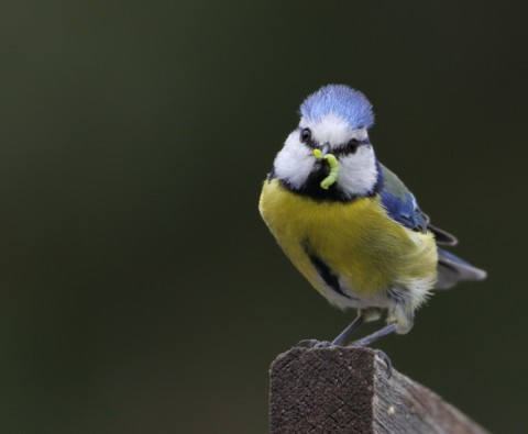 Ultimate bird profiles: Blue Tits