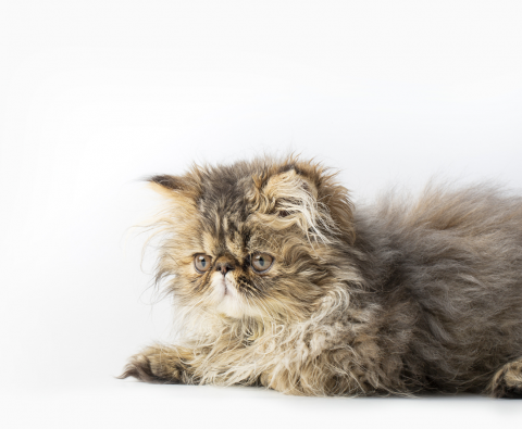 8 popular cat breeds and their common health problems