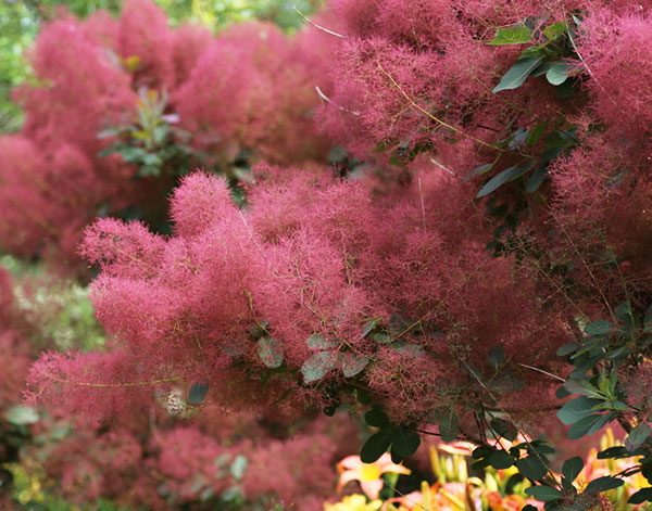 These shrubs will keep your garden gorgeous all year round cotinus is a spectacular shrub through summer and autumn there are several varieties mightylinksfo
