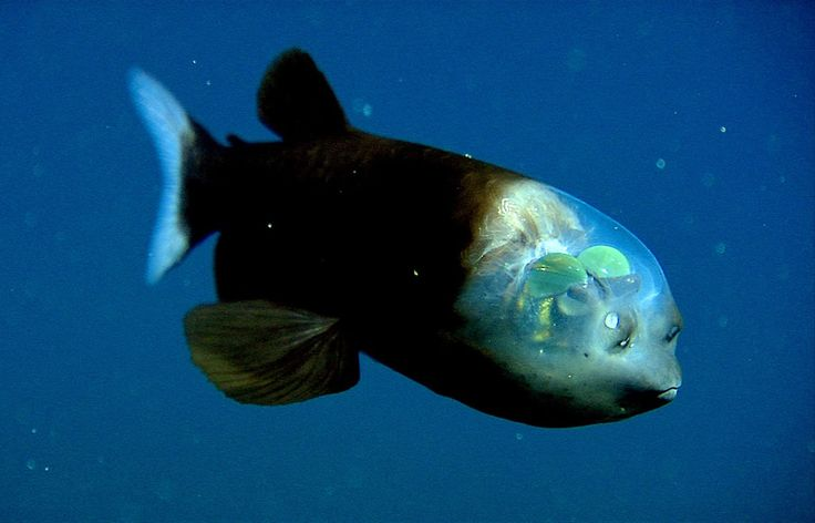 Transparent-headed barreleye fish