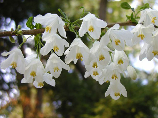 These shrubs will keep your garden gorgeous all year round halesia carolina mightylinksfo