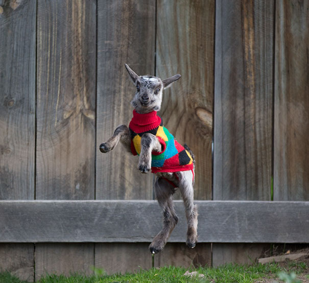 goat in a jumper