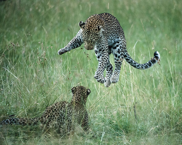 leopards pouncing