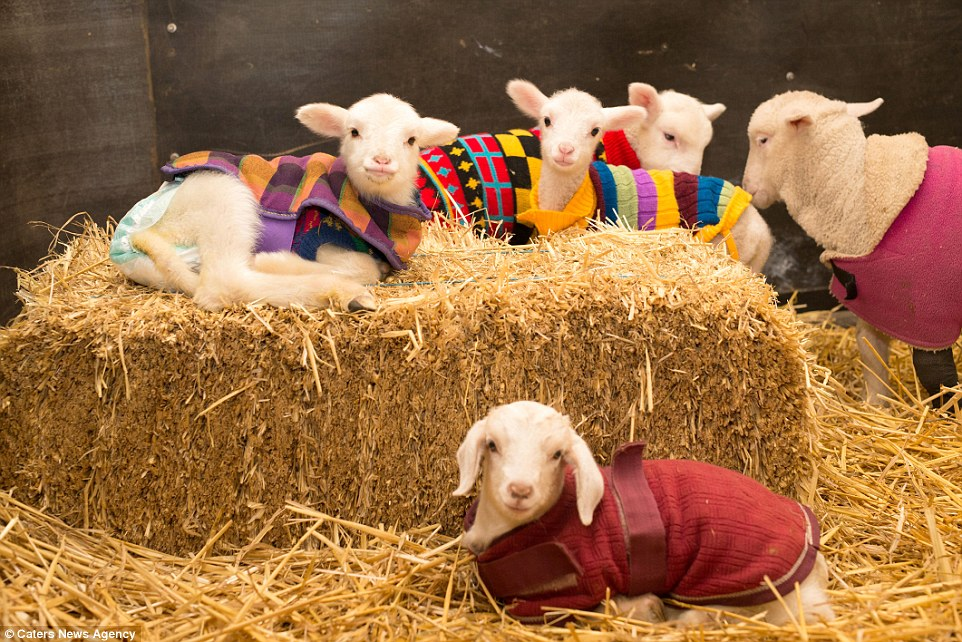 goats in jumpers