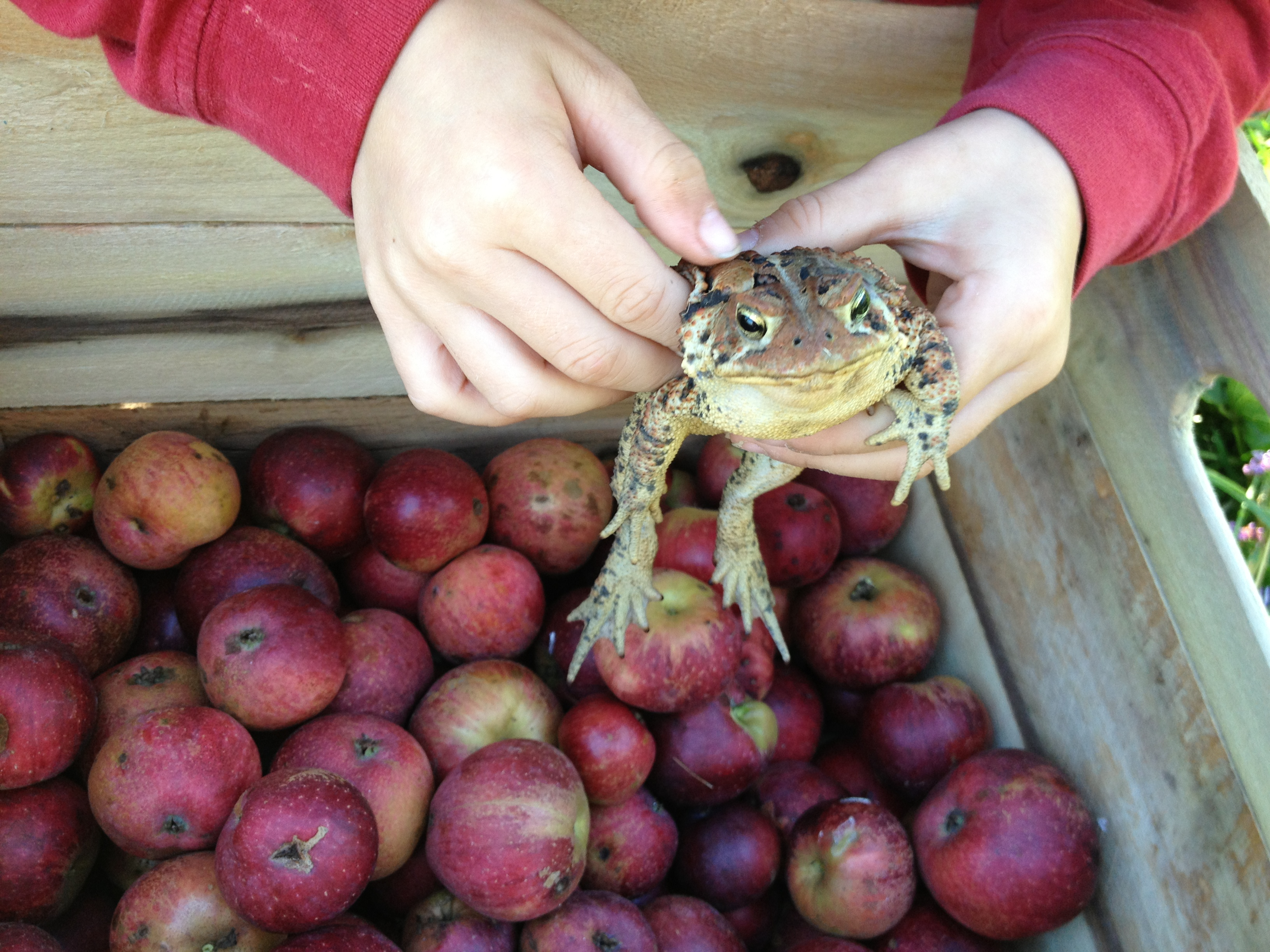 frog in apples