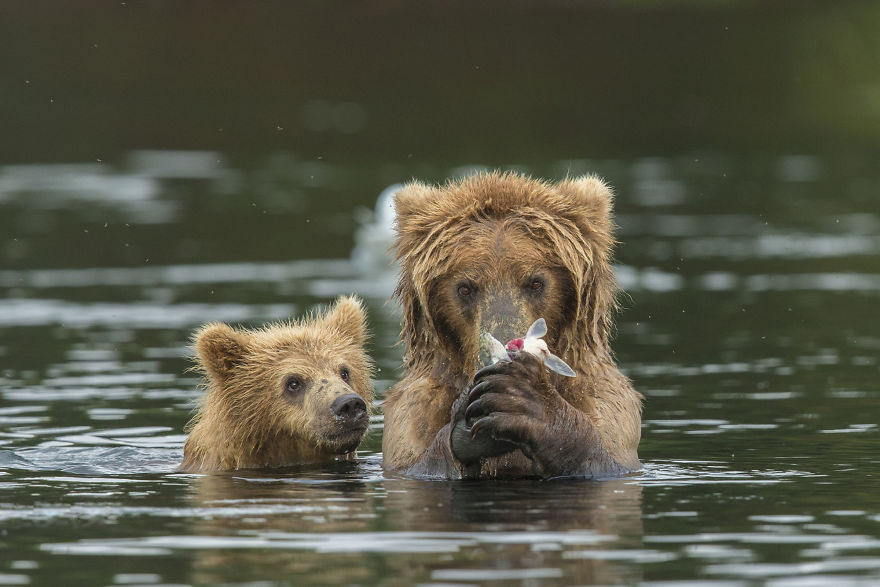 bear teaching cub to fish