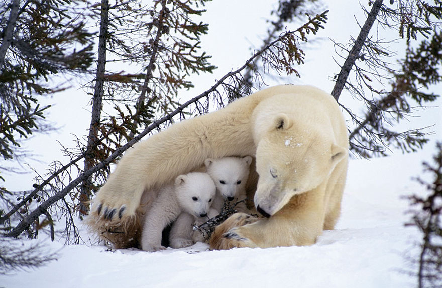 sheltering cubs