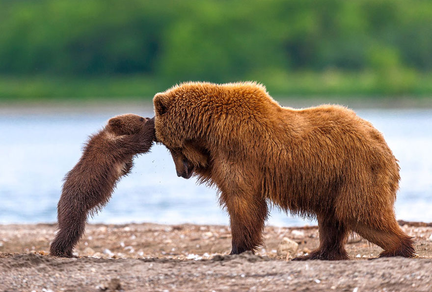 bear playing with cub