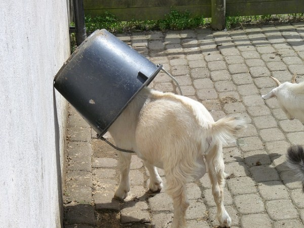 goat with head in a bucket