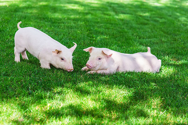 pig and intelligence pigs Intelligence in mini pigs information coming soon the ampa's official mini pig training handbook: tricks, life skills, and communication with your mini pig is the first training book of it's kind.