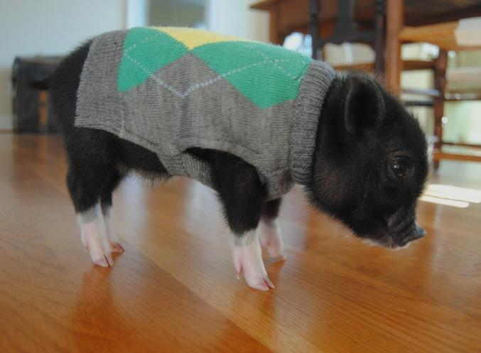 pig in a jumper