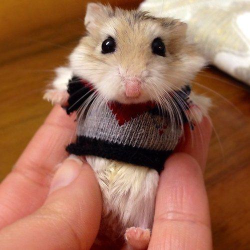 hamster in a jumper