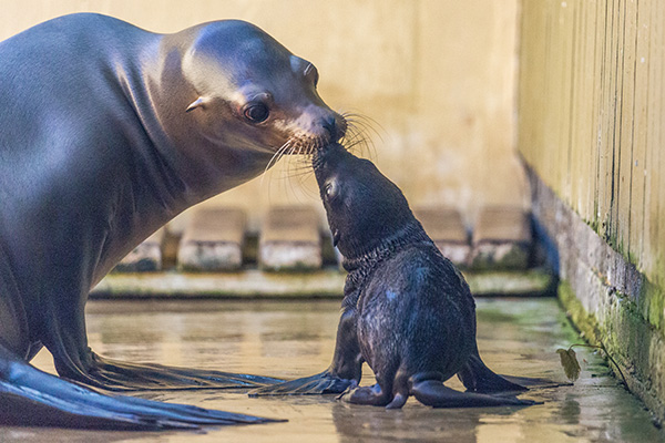 Gallery adorable sea lion pup born at woburn readers digest so far the pup has spent plenty of time with her mother kira and grandmother spratt while venturing into her enclosures beach to explore her habitat publicscrutiny Images